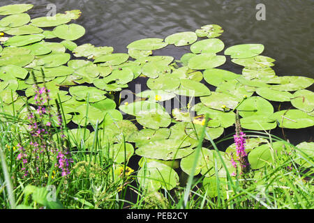 Water lilies amid greenery in river or lake - Stock Photo