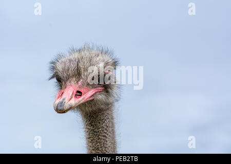 The head of an ostrich closeup on a blue background. - Stock Photo