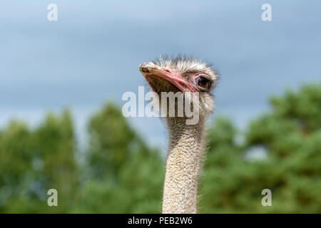 The head of an ostrich closeup on a blurred background. - Stock Photo