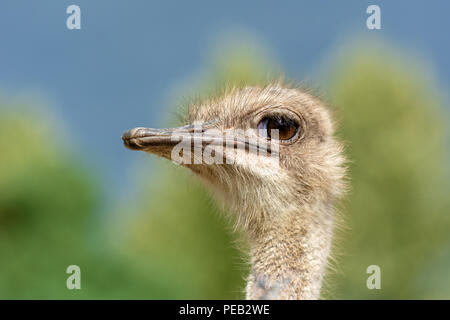 The head of an ostrich closeup on a blurred background. Side view. - Stock Photo