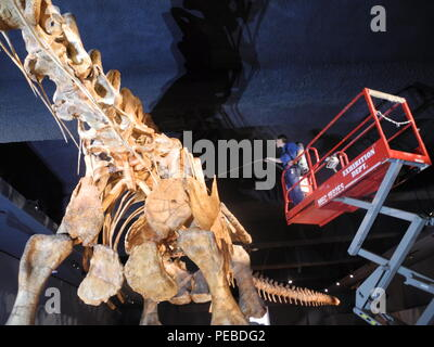 New York, USA. 14th Aug, 2018. Trenton Duerksen, who is responsible for the maintenance of the exhibits, cleans a dinosaur skeleton in the Natural History Museum. The skeleton of the world's largest known dinosaur on display there has been cleaned for the first time. Credit: Johannes Schmitt-Tegge/dpa/Alamy Live News - Stock Photo