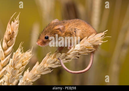 Micromys minutus or Harvest Mouse in wheat field - Stock Photo
