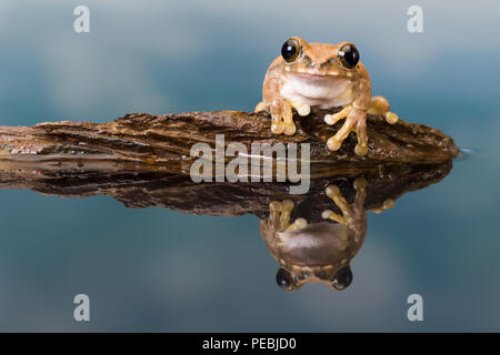 The Mission golden-eyed tree frog or Amazon milk frog (Trachycephalus resinifictrix) is a large tree frog of the Amazon Rainforest - Stock Photo