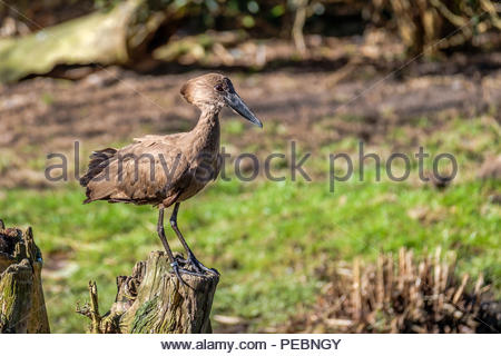Hamerkop bird is standing on a tree stump on the lookout. - Stock Photo