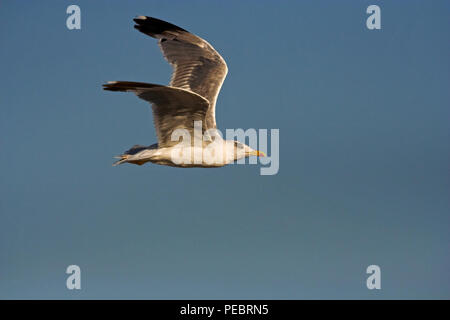 Photo of a big seagull in flight against blue sky - Stock Photo