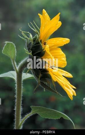 Common sunflower, Helianthus annuus - Stock Photo