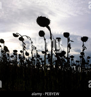 Silhouette of a sunflower field in backlighting, Auvergne, France, Europe - Stock Photo