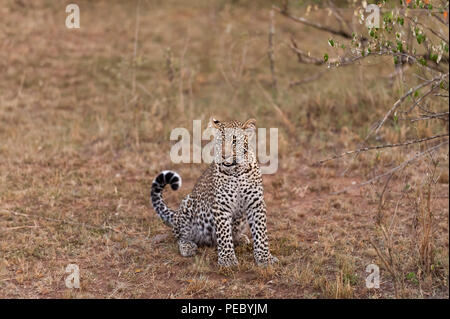Young Leopard Masai Mara Kenya - Stock Photo