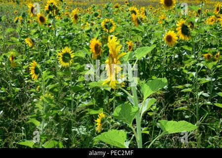 Big sunflower  on the field - Stock Photo