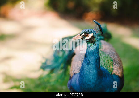 Peacock in the wild - Stock Photo