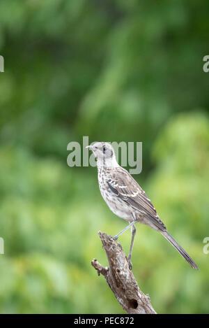 Galápagos Mockingbird - Stock Photo