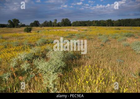 Flowering meadow, grasslands in the floodplain near Dessau, Middle Elbe Biosphere Reserve, Saxony-Anhalt, Germany - Stock Photo