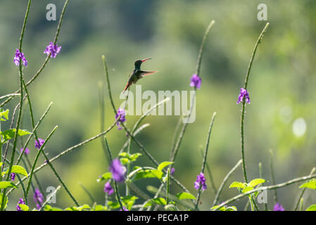 Hummingbird in flight amongst blue flowers, Mindo Cloud Forest, Ecuador - Stock Photo
