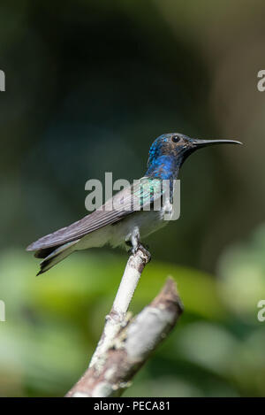 Hummingbird perched on a branch, Mindo Cloud Forest, Ecuador - Stock Photo