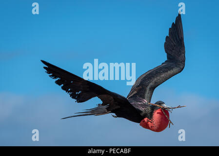 Magnificent Frigate Birds in flight - Stock Photo