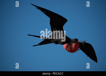 Magnificent Frigate Birds in flight - Stock Photo