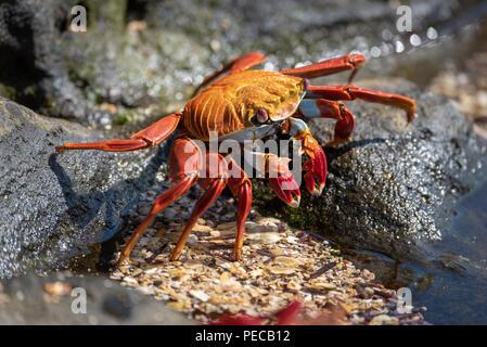 Sally Lightfoot crab, Galápagos - Stock Photo