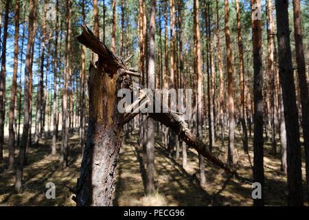 broken pine tree trunk in coniferous  forest   - - Stock Photo