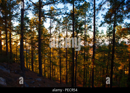 Pine forest at dawn - Canary Island pine, Pinus canariensis on the slopes of the volcanic Mount Teide, or Pico del Teide, Tenerife, Canary Islands - a - Stock Photo