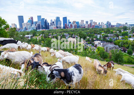 Goats eating up weeds in a Calgary park as part of the city's targeted grazing plan for invasive weed species management using environmentally friendl - Stock Photo