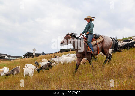 CALGARY, CANADA - AUG 12, 2018: A rancher shepherding goats in an effort to eat up weeds in a Calgary park as part of the city's targeted grazing plan - Stock Photo