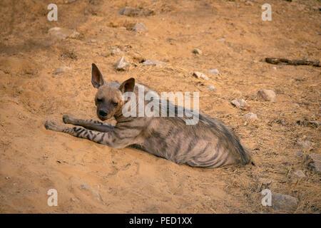 Striped Hyena, Hyaena hyaena, Jhalana, rajasthan, India - Stock Photo