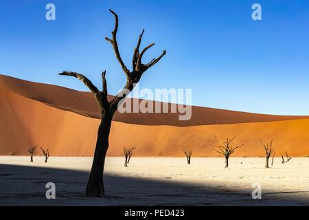 Deadvlei is a white clay pan located near the more famous salt pan of Sossusvlei, inside the Namib-Naukluft Park in Namibia. Also written DeadVlei or  - Stock Photo