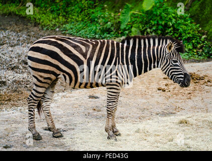 Grevy's zebra Equus grevyi aslo know as the imperial zebra standing - Stock Photo
