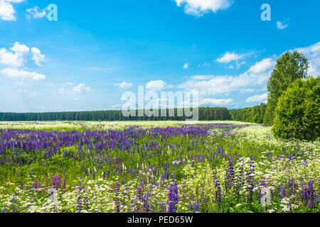 A large field with flowering lupine on a Sunny summer day, Russia. - Stock Photo