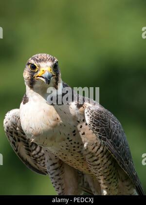 Hybrid Falcon, Hesham, Northumberland, UK - Stock Photo