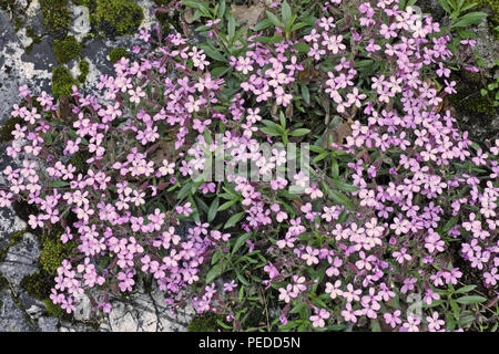 rock soapwort, flowers and leaves - Stock Photo