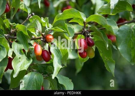 Closeup of a twig with red and orange dogberries among leaves on a dogwood tree - Stock Photo