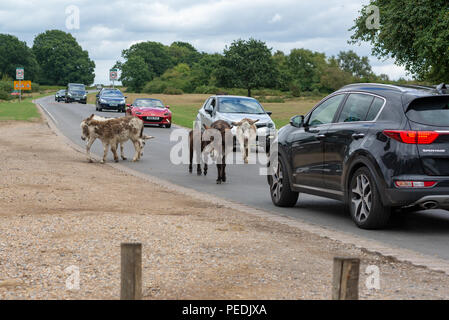 Donkeys on the road holding up traffic at Godshill in the New Forest, Hampshire, UK - Stock Photo