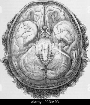 Black and white print illustrating a Horizontal Section through the base of a human brain, showing the origins of nerves, at half the natural size, in wide angle view, 1866. Courtesy Internet Archive. () - Stock Photo