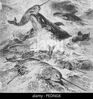 Black and white print depicting a school of narwhals (Monodon monoceros) being attacked by a pair of Risso's dolphin (Grampus griseus) surrounded by rough ocean waves, 1901. Courtesy Internet Archive. () - Stock Photo