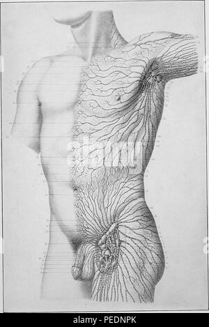 Black and white print of a male human torso showing the superficial lymphatic system on one side of the trunk of the body, published in Joseph D Bryant's 'American practice of surgery, a complete system of the science and art of surgery', 1906. Courtesy Internet Archive. () - Stock Photo