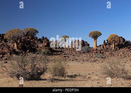 Quiver trees ((Aloidendron dichotomum) growing amongst Dolerite rock near Keetmanshoop, Namibia. - Stock Photo