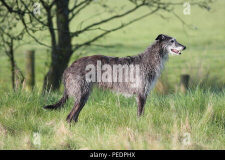 Irish wolfhound similar to Deerhound, this large sighthound was breed for hunting large quarry for food, this dog is standing side on to the viewer - Stock Photo