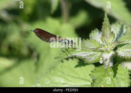 Calopteryx virgo, Beautiful Demoiselle Immature male resting on sting nettle, flying in June. - Stock Photo