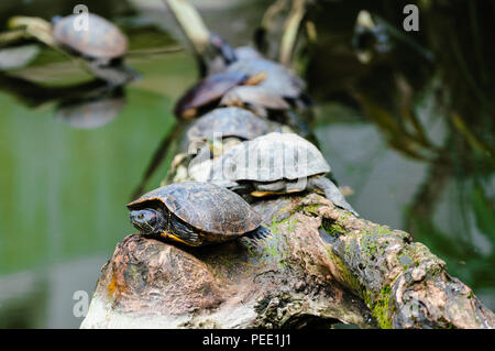 Group of Red-eared slider turtle on a branch in the middle of water - Stock Photo