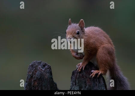 red squirrel, Sciurus vulgaris, running, jumping, caching nuts, food amongs purple flowering heather during august in the cairngorms NP, scotland. - Stock Photo