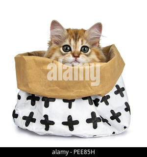 Super sweet golden British Longhair cat kitten sitting in a paper bag, looking straight in de camera with big green eyes, isolated on a white back - Stock Photo