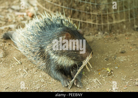 hedgehogs inside the zoo - Stock Photo