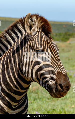 Close up of a Zebra standing and staring in the field - Stock Photo