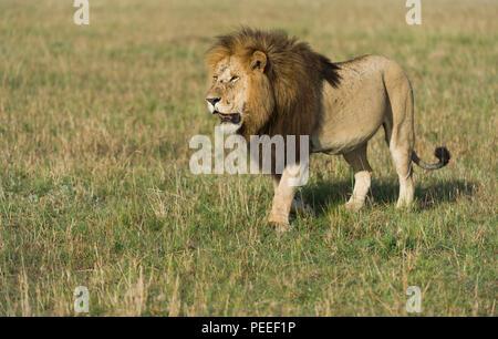 Adult Male Lion Masai Mara Kenya - Stock Photo
