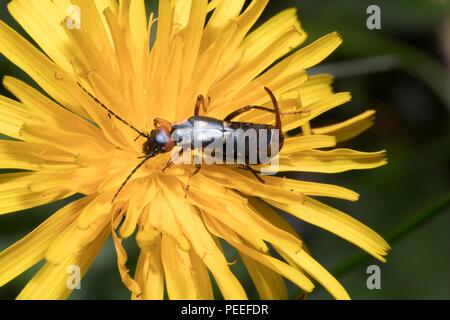 Anechura bipunctata - Zweipunkt-Ohrwurm 2018 - Stock Photo