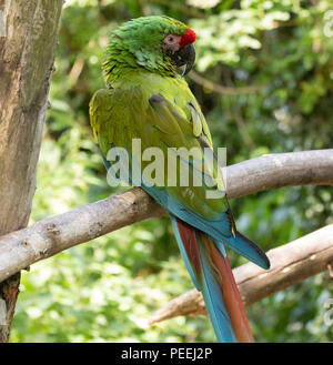 A Green Military Macaw - Stock Photo