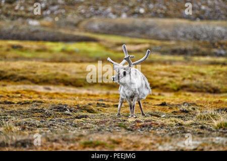 Svalbard reindeer (Rangifer tarandus platyrhynchus), Svalbard or Spitsbergen, Europe - Stock Photo