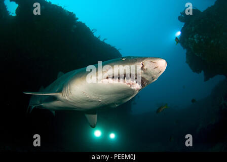 Ragged tooth shark (Carcharias taurus synonym Eugomphodus taurus), Carcharias taurus), Aliwal Shoals, South Africa - Stock Photo