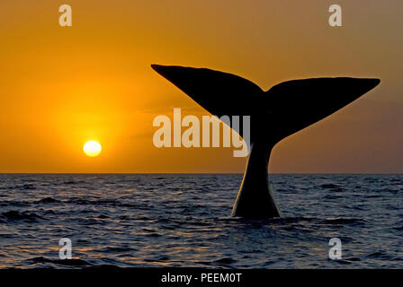 Descending Southern Right Whale (Eubalaena australis), sunset, Valdés peninsula, Argentinia - Stock Photo